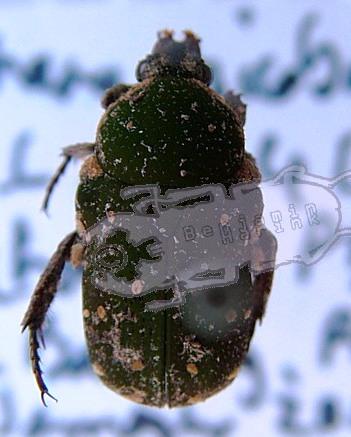 Glycyphana nicobarica