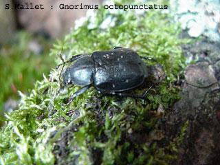 Gnorimus octopunctatus