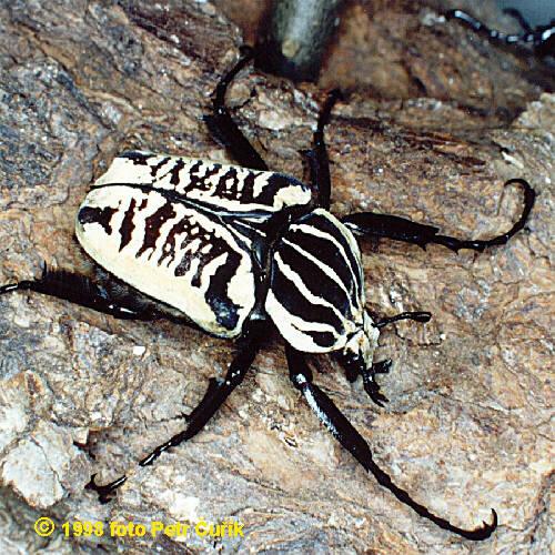 Goliathus albosignatus kirkianus