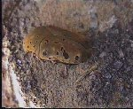 Gymnetosoma pantherina meleagris © M. Polacyk