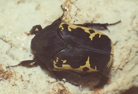 Gymnetosoma pudibunda