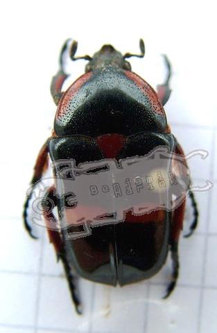 Heterorrhina paupera, Philippines © B.Harink