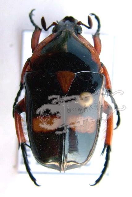Heterorrhina paupera