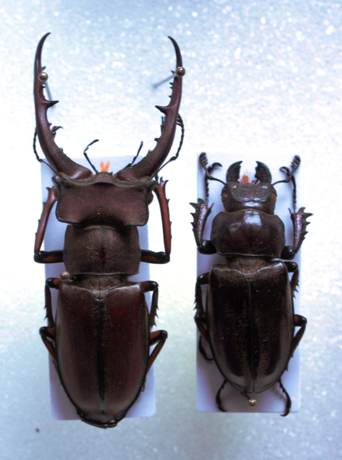 Lucanus luci, pair from Vietnam