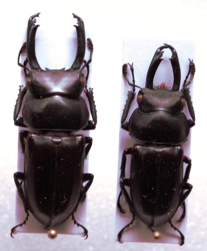 Dorcus bisignatus elsiledis