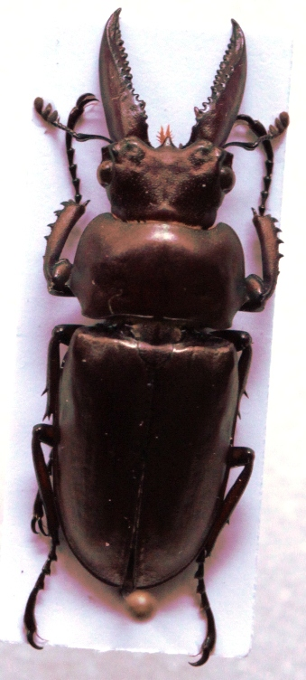 Eligmodontus kanghianus