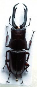 Prosopocoilus capricornus from Vietnam