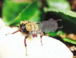 Dicronocephalus wallichi bourgoini, female from Taiwan © B. Harink