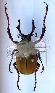 Dicronocephalus wallichi bourgoini, male from Taiwan © B. Harink