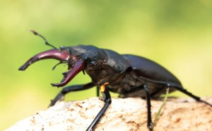 Swiss Lucanus cervus, minor male picture copyright B.Harink