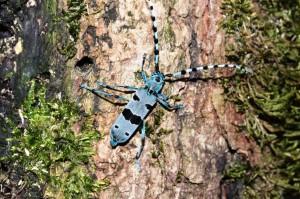 Rosalia alpina, a Swiss Cerambycidae Copyright B.Harink