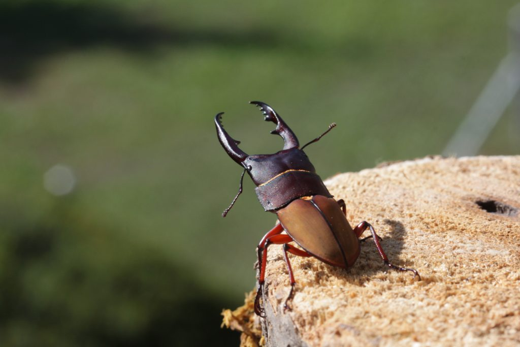 Leptinopterus burmeisteri male 1