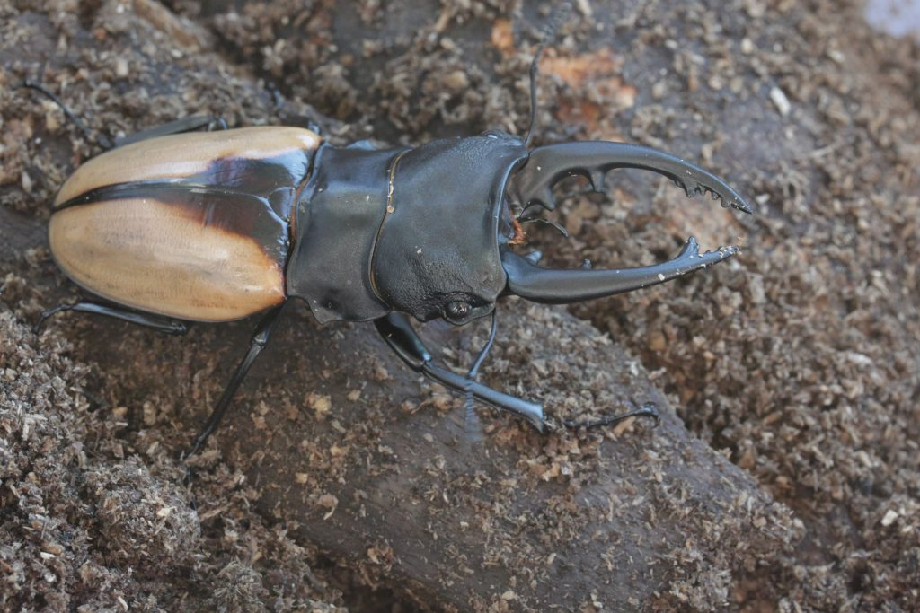 Odontolabis burmeisteri male