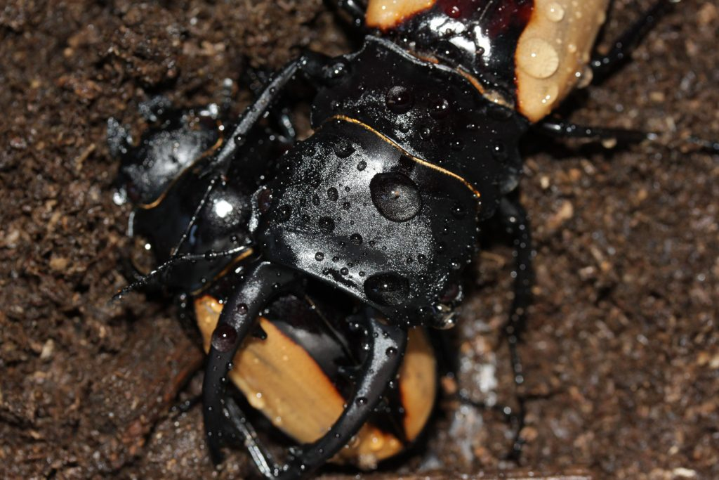 Odontolabis burmeisteri pair mating