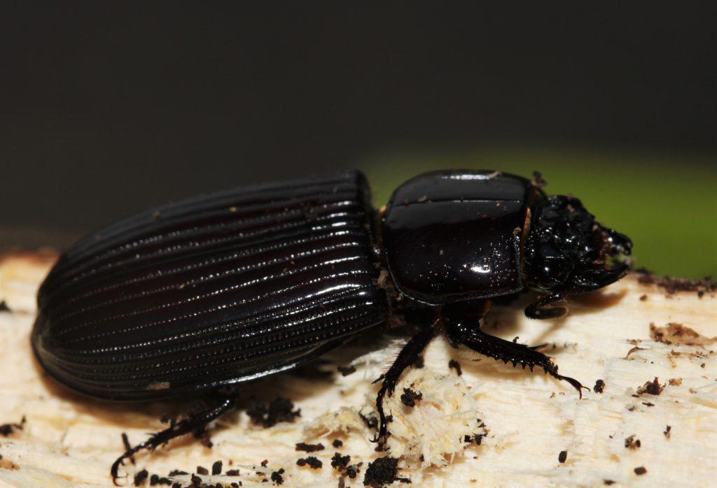Passalidae from Gabon 2