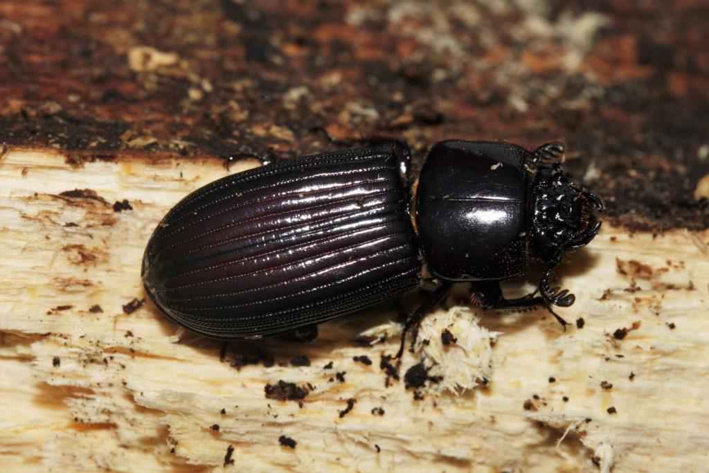 Passalidae from Gabon 1